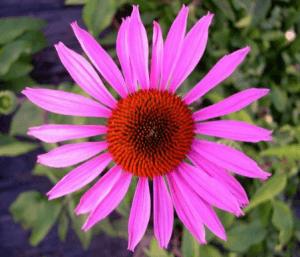 Echinacea Globuli