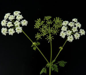 Conium Maculatum (gefleckter Schierling)