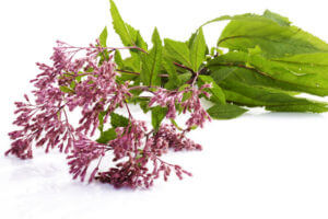 Eupatorium Perfoliatum (Wasserdost)