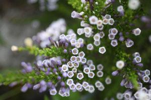 Fabiana Imbricata (Pichi Pichi Pflanze)