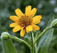 Arnica globuli: Der Star der Homöopathie