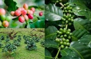 Coffea Globuli