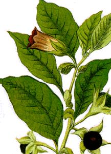 Atropa Belladonna Globuli