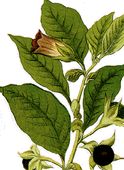 Belladonna-Globuli