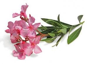 Oleander (Rosenlorbeer)
