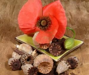 Opium (Schlafmohn)
