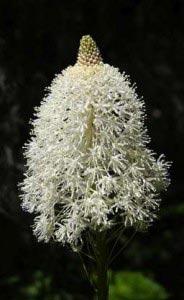 Xerophyllum (Bärengras)