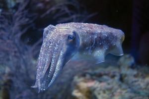 Sepia Officinalis (der gemeine Tintenfisch)