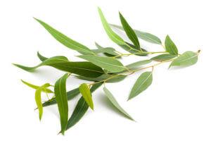 Eucalyptus (Eukalyptus)