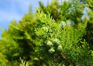 Thuja Occidentalis Globuli
